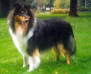 Rough Collie 2