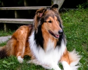Rough Collie 3
