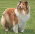 Rough Collie 6