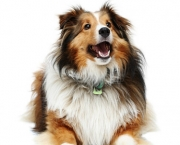 Rough Collie 7