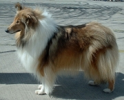 Rough Collie 8