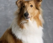 Rough Collie 10