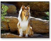 Rough Collie 11