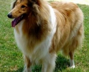 Rough Collie 12