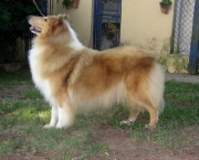 Rough Collie 13