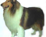 Rough Collie 14