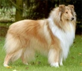 Rough Collie 15