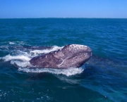 The Pacific gray whale ... numbers are not as bouyant as thought, say scientists.