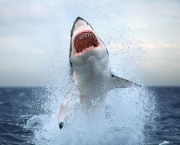 A great white shark surges from the water off the coast of Cape Town, South Africa.