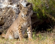 SPAIN-ENVIRONMENT-BIODIVERSITY-SPECIES-IUCN-LYNX