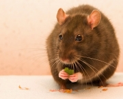 my_rat_candy_by_kristincross-d4l5ujm.jpg