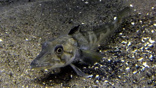 Icefish Ocellated (Chionodraco rastrospinosus)