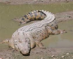 Crocodilo Gigante